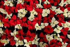 FUN FLOWER FACT: Poinsettias are the most popular holiday plant, with close to 60 million dollars worth being sold in the six weeks prior to Christmas! There are 100 varieties of poinsettias available today!  Bakman Floral Design is a family owned  operated florist in South Lyon, MI committed to offering the finest floral arrangements gifts, backed by service that is friendly prompt! Call (248) 437-4168 or visit www.southlyonflorist.com for more info!