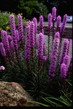 Liatris spicata Kobold (zone 3-9) - drought & deer resitant. Good for cut flowers. (Blazing Star, Gayfeather, Button Snakerroot)