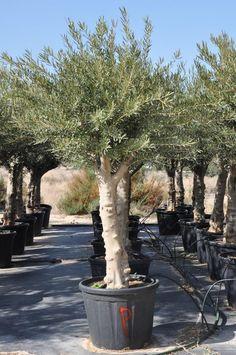 Haben Sie nicht schon immer von einem großen alten Olivenbaum im Garten geträumt? Konnten sich es aber nicht so richtig vorstellen? Vor allem nicht hier in Deutschland?    Wie wäre es mit diesem!...