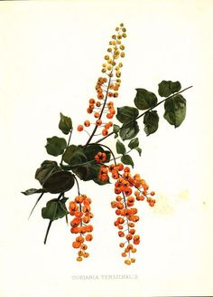 Coriaria Terminalis Print. This botanical print rich in color originated from Flora and Sylva a horticultural journal published in Britain from 1903 to 1905. The journal provided introductions and rev