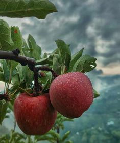 Apple Fruit, Fruit And Veg, Apple Images, Beautiful Vacation Spots, Honeymoon Places, Shimla, Nature Images, Simple Way, Berries
