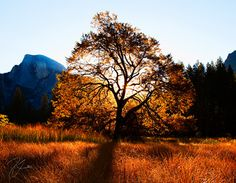 Ansel Oak Sunrise  11x14 FINE ART Photo  MATTED by premierephoto