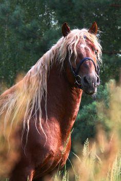 Russian Heavy Draft horse.