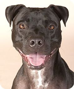 03/16/16 SL~~~Pictures of Champ a Boxer/American Pit Bull Terrier Mix for adoption in Chicago, IL who needs a loving home.