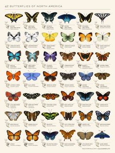 Butterfly Discover Butterflies of North America Photographic Print by Eleanor Lutz This chart is a set of decorative species illustrations of 42 North American butterflies. :) Millions of unique designs by independent artists. Find your thing. Art And Illustration, Illustrations, Butterfly Illustration, Butterfly Species, Butterfly Art, How To Draw Butterfly, Butterfly Symbolism, Monarch Butterfly Tattoo, Butterfly Tattoos