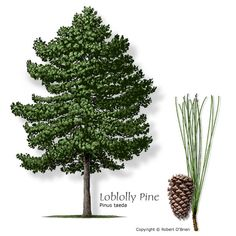 Loblolly Pine Texas native Features:Medium-length green needles and large, brown cones in the fall. Comments: Tolerates a wide range of site conditions, but prefers good drainage. Problems:Susceptible to ice damage, bark beetles. Needle drop can be significant.