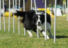 Lovin it Rough Collie, Collie Dog, Big Puppies, Dog Agility, Dogs Of The World, Best Dogs, I Am Awesome, Border Collies, Animals