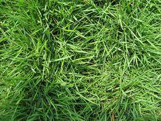 Cavalier Zoysiagr Drought Tolerant Gr Zoysia Home Landscaping Edible Plants Landscape