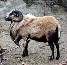 American Blackbelly are a hair sheep that originated in Texas from crossing Barbados Blackbelly with Mouflon and Rambouillet. Zoo Animals, Animals And Pets, Cute Animals, Sheep Farm, Sheep And Lamb, Baa Baa Black Sheep, Musk Ox, Sheep Breeds, Animal Science