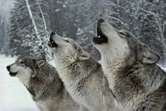 Alawa and Zephyr, two of New York Wolf Conservation Centre's ambassador wolves, giving a show for some visitors. Sound taken from one of the New York Wolf Co. Beautiful Wolves, Animals Beautiful, Cute Animals, Beautiful Images, Wolf Love, Wolf Spirit, Spirit Animal, Bruder Tattoo, Canis