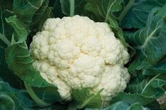 Fall Vegetable Gardening Plant these hearty vegetables now for a bountiful harvest come fall. - Extend your vegetable garden into autumn. Here is a list of 15 vegetables you can plant now for fall harvest from HGTV Gardens. Growing Cauliflower, Riced Cauliflower, Cauliflower Steaks, Cauliflower Casserole, Cauliflower Bites, Roasted Cauliflower, Alkaline Fruits, Harvest Pictures, Health Benefits Of Cauliflower