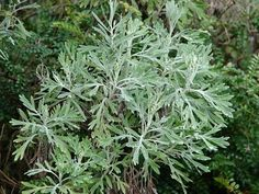 Wormwood - One Of The Best Known Of Medicinal Herbs