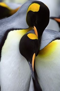 love penguins!!!  this type, emperors I think, are so beautiful in color, I think that's what makes them so photogenic.