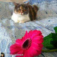 Один из победителей конкурса @olechka_tofanyuk -  Сонечка 2года 10мес. Британо-Персидская красотка любит цветы игрушки очень любимая девочка  Для@kotobormot.ru  конкурсант #мой_кот_мартовский  #победитель