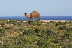 -dromedario-canario Los camellos canarios provienen históricamente del continente africano, de donde llegaron a partir del año 1405, con un origen genético común al que existe en Tinduf (Argelia).