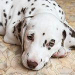 Worst Dogs for First-Time Owners  Your first pooch will forever have an exceptional space in your heart.  However taking your very first pooch in your abode is not at all times simple, regardless of how ready you are, how many articles you study about dog …  [CLICK TO READ MORE]   The post  Worst Dogs for First-Time Owners  appeared first on   .  https://www.dogisto.com/worst-5-dogs-first-time-owners/