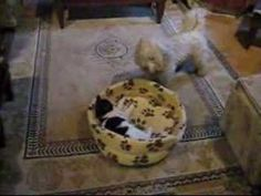 Cat and Dog funny (get out of my bed) ::::: #funny