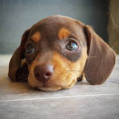Check out our store for the best Dachshund designs CLICK the link in our bio Made in the USA International delivery . Dachshund Funny, Dapple Dachshund, Dachshund Puppies, Weenie Dogs, Dogs And Puppies, Daschund, Doggies, Cute Baby Animals, Funny Animals