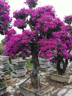 bougainvillea bonsai with white gold pin red and purple colors in thailand by paul zeiji. Black Bedroom Furniture Sets. Home Design Ideas