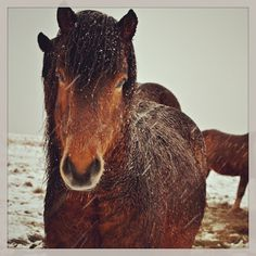 #ponies in the #snow #iwantapony #icelandic #magical