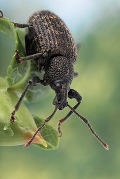 Otiorhynchus sulcatus  ... The black vine weevil feeds on many garden and landscape plants such as azalea, rhododendron, grapes and more