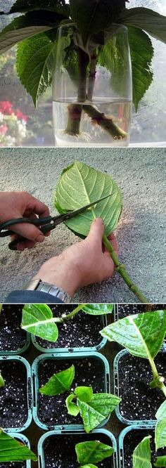 Propagating hydrangea - cuttings DIY Grow Hydrangea cool garden plants creative diy gardening hydrangea do it yourself easy diy diy garden soil, Cathy Einert, this is the one I was talking about. Organic Gardening, Gardening Tips, Vegetable Gardening, Gardening Supplies, Growing Plants, Dream Garden, Lawn And Garden, Big Garden, Balcony Garden