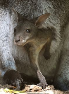 A young red kangaroo looks out of its mother's pouch at the zoo Hanover, central
