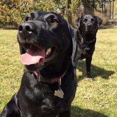 Buck & Buddy. #katanddog #lab #labrador #labradors #labradorable #labradorlove #labradorretriever #labradorretrievers #labradorsofinstagram #retriever #retrievers #retrieveroftheday #retrieversofinstagram #blacklab #blacklabs #blacklabrador #worldoflabs #dog #dogs #labs #blacklabradors