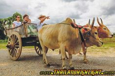 Enjoy to Ox-cart riding, the traditional Thai transport in the past. You can see the mountain view and rice field.
