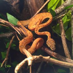 """ถูกใจ 333 คน, ความคิดเห็น 1 รายการ - Martin G Jensen ➡️ Tap That ⤴️ (@mgreptiles) บน Instagram: """"Amazing snake with an amazing personality #boas #reptiles #reptile #snake #snakes #hortulanus…"""""""