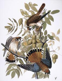 kestrel audubon print