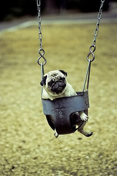 Pug in a swing! The only think that could possible make this cuter is if he was wearing a sweater:)
