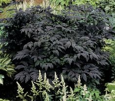 Cimicifuga simplex Hillside Black Beauty aka Autumn Snakeroot (zones 4-9) elegantly cut foliage and 5ft tall, fragrant white flower spikes in late summer. But it has foliage that is the darkest available, an almost black purple, that, unlike others, doesn't fade as the season progresses. A statuesque plant with best leaf color in light shade. Try it with Hostas and Hackonechloa.