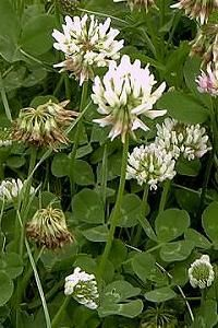 White clover: medicinal uses: cleanses blood, boils, sores, wounds, etc., heals disorders and diseases of the eye. A tea is used to treat coughs, colds, fevers and leucorrhea. A tincture of the leaves can be applied as an ointment for gout. A tea of the flowers used as an eyewash.
