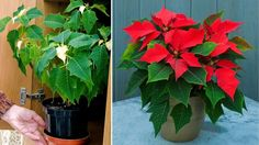 Zavrite vianočnú hviezdu do skrine a krásne sa vám vyfarbí. Euphorbia Pulcherrima, Flora, Succulents, Gardening, Plants, Inspiration, Decor, Garten, Decoration