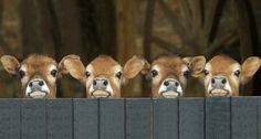 Another pinner wrote: Baby cows (Or Calves, as we ranchers know them! Farm Animals, Animals And Pets, Funny Animals, Cute Animals, Wild Animals, Beautiful Creatures, Animals Beautiful, Baby Cows, Baby Elephants