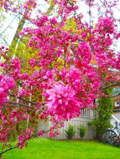 spring pinks, may 2012 by rosanne maccormick-keen, via Flickr