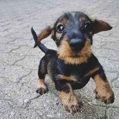 Cute Puppies For Sale, Dachshund Puppies For Sale, Standard Dachshund, America And Canada, New Puppy, Finding Yourself, Miniatures, Dogs, Animals