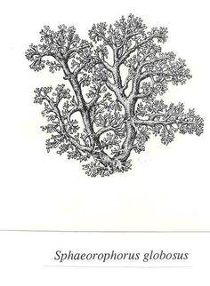 Lichen Illustrations  By Alexander Mikulin (mag@proaxis.com)   Sphaeorophorus globosus