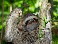 Sloths are like walking ecosystems. Their fur is full of moths, which help fertilize the algae they also grow in their fur (and then eat). Now, scientists have spotted birds feasting on the bugs that live on sloths. Characteristically, the sloths don't seem to mind much.