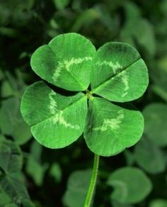 4 leaf clover---luck of the Irish