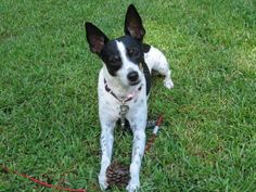 The Rat Terrier tends to make a great companion towards the appropriate family members, but needs to be educated appropriately as they've the tendency to snap if frightened. Rat Terrier Dogs, Boston Terrier, Rats, Mini, Animals, Animales, Boston Terriers, Animaux, Animais