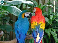 https://www.facebook.com/WonderBirdSpecies/ Blue-and-yellow macaw (Ara ararauna)&Scarlet macaw (Ara macao); South America; IUCN Red List of Threatened Species 3.1 : Least Concern (LC)(Loài ít quan tâm) || Vẹt Macaw lam vàng&Vẹt Macaw đỏ; Nam Mỹ; HỌ VẸT - PSITTACIDAE (True parrots).