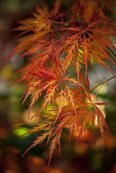 Japanese Maple (Acer palmatun dissectum)