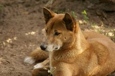 Expedition to Find the New Guinea Singing Dog: The Rarest Dog in the World