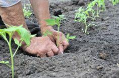 Tomato Garden, Vegetable Garden, Geraniums, Container Gardening, Home And Garden, Flowers, Outdoor, Backyard Farming, Outdoors