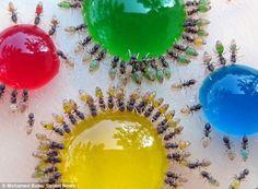 カラフルなアリ 撮影者:インドマイソールの科学者モハメドバブー氏 きっかけ:奥さんが台所でこぼれたミルクを飲んでる蟻を見つけ、その蟻の腹の色が白く変わっていくのが目に入ったことから。 自然すごい!