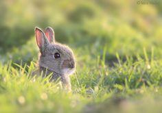 Young Rabbit by Steve Mackay, via 500px