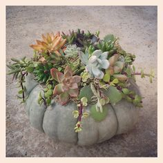 Just get a pumpkin and spray Elmer's adhesive spray glue on top, stick on some Spanish moss and then glue a variety of succulents on top with some clear gel tacky glue. Looks great as a table centerpiece! Barn Wedding Centerpieces, Fall Table Centerpieces, Succulent Centerpieces, Fall Decorations, Halloween Decorations, Succulents Garden, Planting Flowers, Succulent Ideas, Pumpkin Arrangements