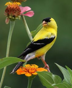 American Goldfinch (male). Goldfinches love Nyger (thistle seed) and black-oiled sunflower seed. They also like purple coneflower and black-eyed susan seed heads left standing in the winter months.
